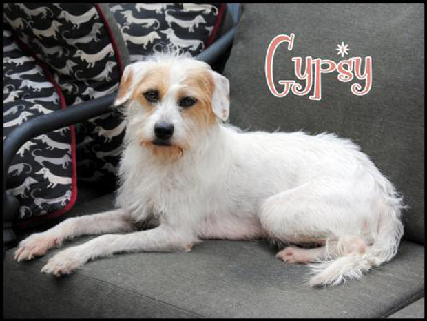 Gypsy, Jack Russell/Irish terrier mix